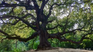 oak-of-the-witches-gragnano